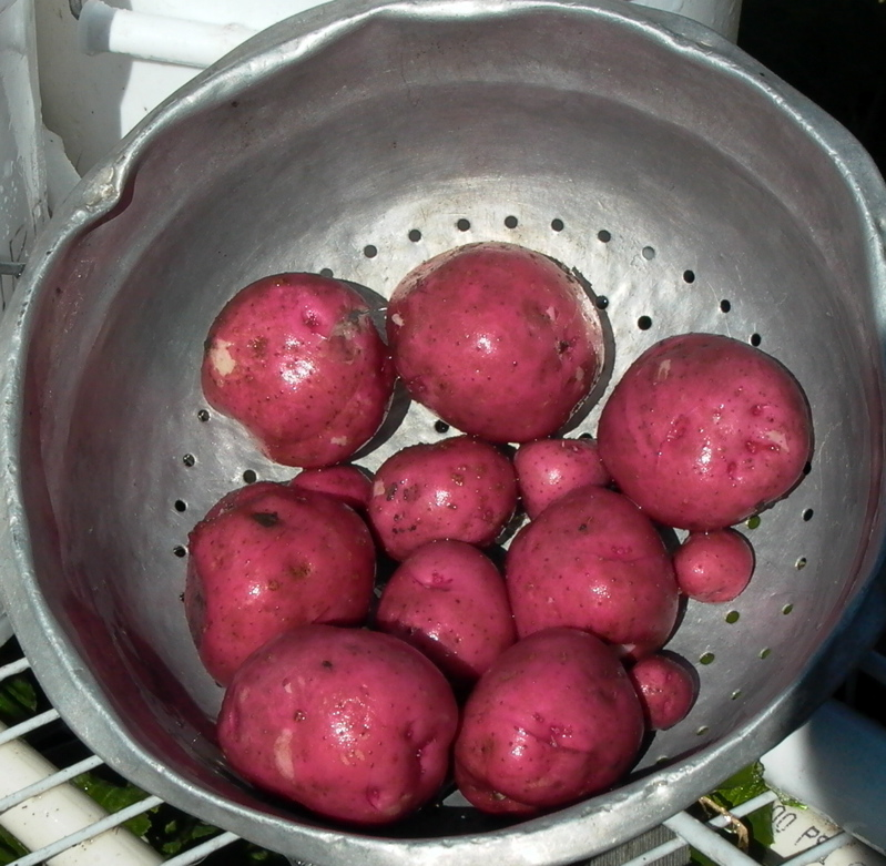 Red Pontiac Potatoes 7.09