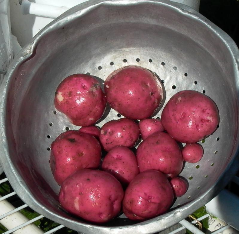 Red Pontiac Potatoes 7.09