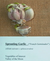 Sprouting_garlic