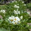 Green_mt_potato_flowers_608