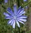 Chicory_flowers_608