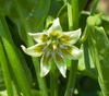 C_baccatum_flower_2