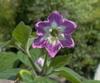 C_pubescens_flower_2_2